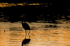 silent hunter (bdaryle) Tags: reflection heron nature water gold sony silenthunter brandondaryle bdaryle imagesbybrandon