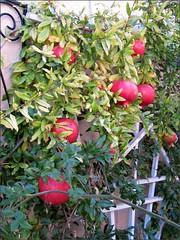Pomegranates almost ready