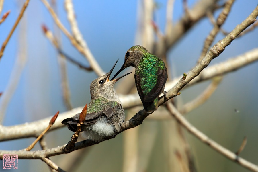 Anna's Hummingbird nest g 0323101