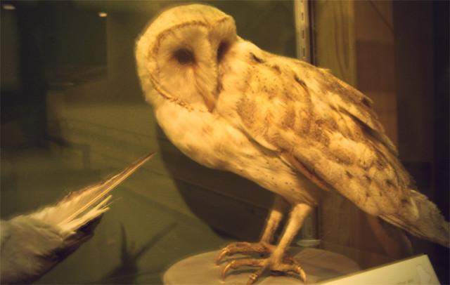 MoS, barn owl