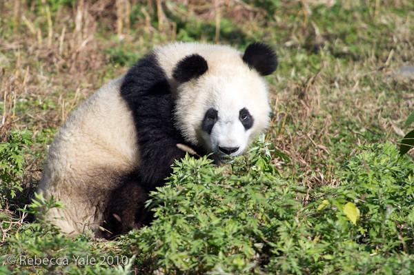 RYALE_Panda_Bears_30