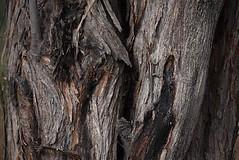 000000-2752 (SPDA Actualidad Ambiental) Tags: costa perú árbol bday animales per lagartija piura biodiversidad bosqueseco tambogrande ‡rbol rbol perœ