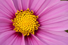 Sweet Cosmos (Arvind ( www.dreamexposures.com )) Tags: life california wood pink autumn trees red summer sky stilllife usa white plant abstract blur flower macro nature floral beauty j