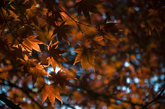 "Fall Fever (Light Echoes) Tags: autumn fall leaves garden leaf nikon bokeh pennsylvania 1001nights redmaple d90 dmk greatphotographers thegalaxy inspiredbylove magicofnature golddragon goldstaraward thebestshot spiritofphotography ""nikonflickraward"" nikond90club ""flickraward"" beyondbokeh lifetnc10 ringexcellence"