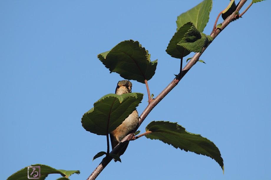 Allen's Hummingbird 111710-3