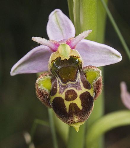 Ophrys scolopax? et errances taxinomiques - Page 2 5188135433_affce08fe1