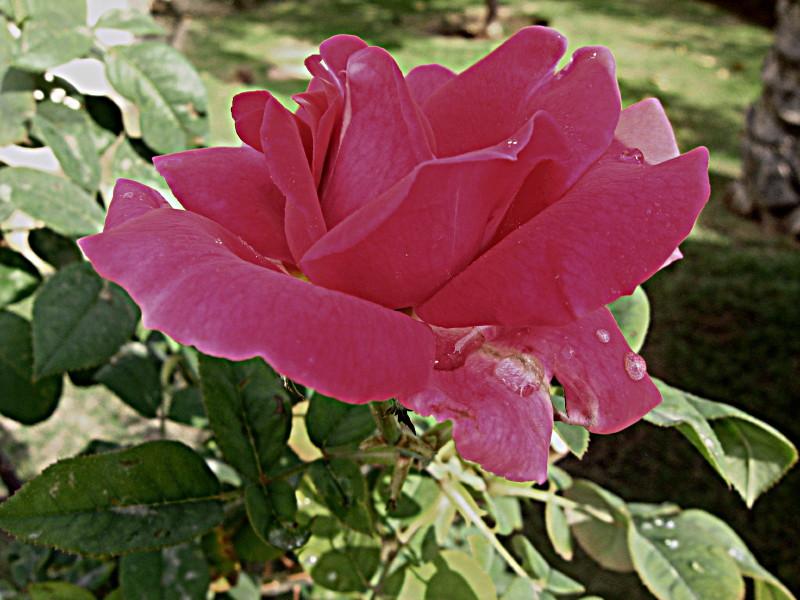 20-11-2010-rose2