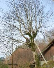 Nussbaum fllen (HITSCHKO) Tags: baum einzelbaum laubbaum juglansregia solitrbaum echtewalnuss