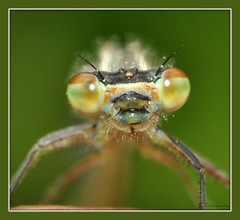 ~On the Back of my Hand~ (Eddie The Bugman) Tags: macro insect nikon trent micro 60mm nikkor immature damselfly odonata insecta zygoptera azuredamselfly coenagrionpuella d90