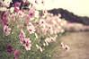 Farewell tears overlap with autumn rain (y2-hiro) Tags: flowers autumn macro colors rain nikon cosmos 70mm d3s
