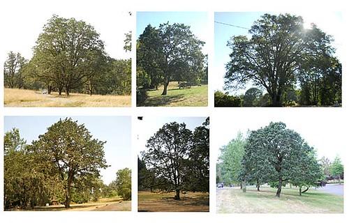 oak-collage
