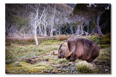 Wombat, Cradle Mountain, Tasmania (Matthew Stewart | Photographer) Tags: park trees mountain lake grass st moss australia national tasmania clair wombat cradle 2010