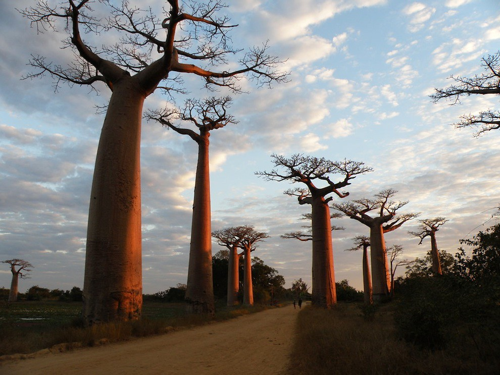 Alley of the Baobab