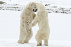 Headbangers (ucumari) Tags: november wild snow canada ice animal mammal oso manitoba polarbear churchill tundra 2010 hudsonbay ursusmaritimus wapusknationalpark specanimal seabear ucumariphotography bestofblinkwinners blinkagainsuperstars blinksuperstars artistoftheyearlevel7 allofnatureswildlifelevel1 allofnatureswildlifelevel2 allofnatureswildlifelevel3 allofnatureswildlifelevel4 allofnatureswildlifelevel5 allofnatureswildlifelevel8 allofnatureswildlifelevel6 allofnatureswildlifelevel7 allofnatureswildlifelevel9 allofnatureswildlifelevel10 rememberthatmomentlevel1 rememberthatmomentlevel2 vigilantphotographersunite vpu2 vpu3 vpu4 vpu5 vpu6