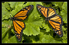 "MY TWIN MONARCH BUTTERFLY ""ITS A COLOURFUL LIFE"" (Gib Rock Photography) Tags: orange leaves gardens canon butterfly insect geotagged botanical eos born fly leaf wings legs body butterflies butter monarch flies 1855mm alameda efs positively canon botanical gardens david 1855mm eos eos reyes butterflies efs butterfly monarch 1000d gibraltar 1000d blinkagain exposed bestofblinkwinner bestofblinkwinners"