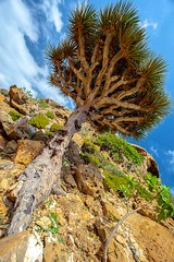 Homhill, garden full of bottles and dragon's blood trees, Soqotra Island, UNESCO, yemen (anthony pappone photography) Tags: pictures travel trees plants tree nature digital canon lens landscape island photography photo flora foto image felix natur picture natura best unesco arab arabia di adan yemen arabian fotografia bottletree albero paesaggio drago sangue reportage photograher pianta dracaenadraco arabo yemeni phototravel yaman dracena draceana socotra soqotra arabie arabiafelix اليمن arabianpeninsula cinnabari يمني 也門 سقطرى сокотра alyaman yemenpicture yemenpictures eos5dmarkii 索科特拉 alberodelsanguedidrago dracenacinnabari ソコトラ सोकोट्रा dragonsbloodtrees