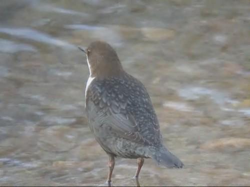 Dipper, River Eden near Rickerby, 28 November 10 (video)