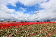 Wooden Shoe Tulip Farm (russ david) Tags: wooden shoe tulip farm woodburn or oregon april 2017 flowers