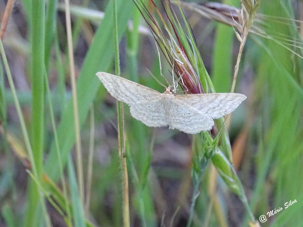 Águas Frias (Chaves) - ... borboleta quase rendada ...