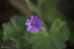 Primaveral (pedroramfra91) Tags: naturaleza nature primavera spring flor flower macro
