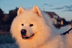 En fin kväll på Råå (hepp) Tags: råå helsingborg öresund sommar summer kvällsdopp hav strand ocean beach hund dog samojed samoyed zack fujifilm xt20 fuji
