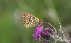 Dark Green Fritillary (snapp3r) Tags: butterfly charterhouse darkgreenfritillary