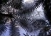 Fern trees seen from below, Bali island, Munduk, Indonesia (Eric Lafforgue) Tags: asia bali bali1452 below day daylight detail details exterior exteriors fern ferns filicophyta horizontal indonesia lowangle munduk nature nopeople outdoors photo plant plants polypodiophyta polypodiopsida pteridophyta sky tree trees upward view baliisland