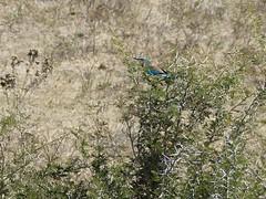 P1150130 Zimbabwe (24) (archaeologist_d) Tags: zimbabwe stanleylivingstonesafarilodge lilacbreastedroller birdwatching africa southernafrica safari