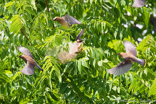 Cedar Waxwings on caterpillar nest