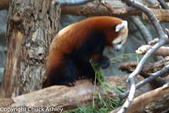 2010-07-25 Mn Zoo 105.JPG (puckster55pics) Tags: redpanda tropicstrail 20100725mnzoo