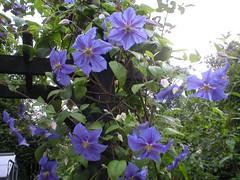 Clematis Perle d Azur (Aberdeen Gardening) Tags: clematis climber bluefloweringclematis