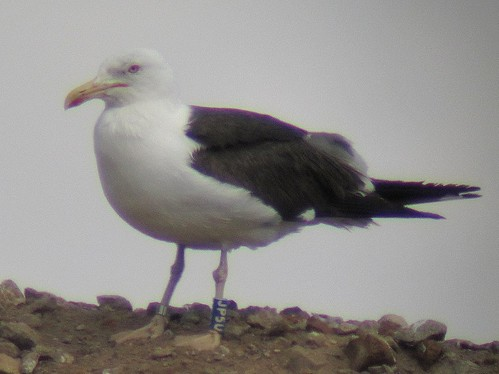 Lesser black-backed gull blue [JP5U]
