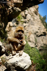 Macaca sylvanus (The Barbary Macaque) (zedamnabil) Tags: life africa wild portrait nature animal lumix monkey algeria rocks north panasonic algerie macaque sauvage barbary macaca barbarymacaque macacasylvanus jijel sylvanus ziama fz28