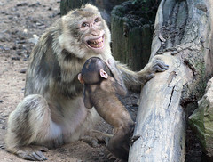 To Be Ticklish (Firenzesca) Tags: baby smile zoo monkey funny lol teeth mother mamma laugh sorriso poppi ridere scimmia solletico bertuccia