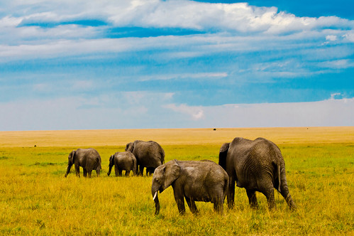 Elephants on the Mara.