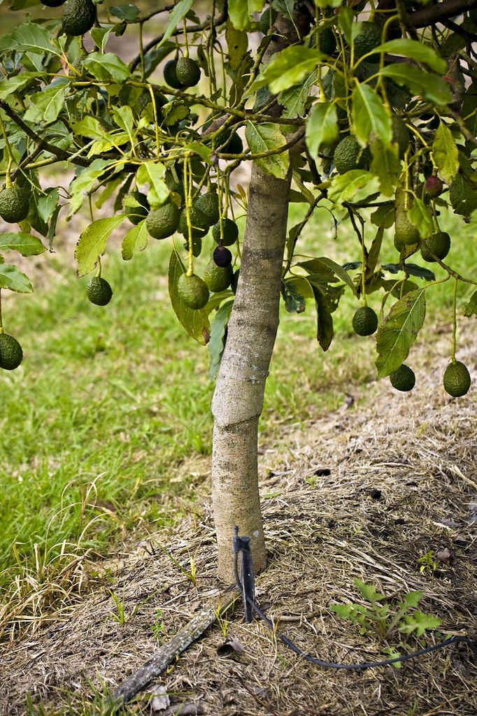 Drip Irrigation Hass avocado graft