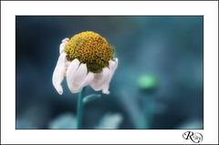 :: Delicateses V :: (:: Riky ::) Tags: flower macro canon bokeh flor colores daisy margarita pocha riky wwwrikyes