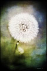 Stages of Dandelion Love (CORDAN) Tags: flower green yellow backyard fluffy dandelion seeds puffy taraxacum nikkor1755mmf28g cordan flickrgolfclub nikond300 cordanated dmyers exif28 exif55mm