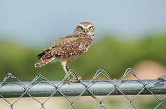 Alert Burrowing Owl (Storm_Front) Tags: bird owl burrowingowl