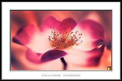 obsesivo xtasis (Jose Luis Mieza Photography) Tags: flowers flores flower fleur fleurs flor benquerencia florews muylinda reinante jlmieza reinanteelpintordefuego joseluismieza