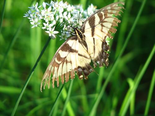 tattered Yellow Swallowtail butterfly
