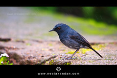 White-bellied Shortwing (Neelakandan | www.neelakandan.com) Tags: india forest photography wildlife birding kerala jungle endangered rare westernghats munnar vulnerable wildlifephotography rajamala endamic eravikulamnationalpark shortwing habitatloss canon40d neelakandan birdavian sigma150500 whitebelliedshortwing wwwneelakandancom