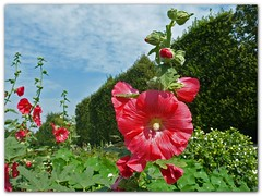 In the paradise of hollyhocks (Vestaligo - Vacation with Internet connection) Tags: vienna wien park blue trees red sky color green clouds austria europe august recreation malvaceae hollyhock stockrose augarten malvales natureselegantshots rubyphotographer mygearandmepremium