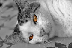 ~~Yeux de Chat~~ (Jolisa) Tags: cat cutout eyes chat yeux gato katz grosplan blackandwhiteportrait noiretblancpartiel catnipaddicts larchedejo