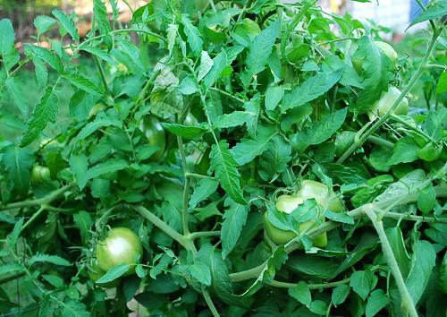 tomato plants 3