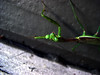 What's Up? (Jason A. Samfield) Tags: green up bug insect flying wings legs upsidedown leg wing insects down bugs greens antenna prayingmantis antennae antennas greenish bugeyes bugeyed sixlegs flyingbug sixlegged