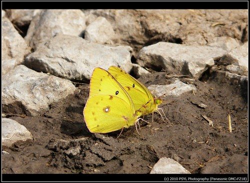 Orange Sulphurs (Colias eurytheme)