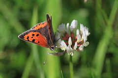 Small Copper Butterfly (Chris*Bolton) Tags: flower nature butterfly insect wicklow soe potofgold smallcopper blueribbonwinner supershot rathdrum a bej abigfave platinumphoto anawesomeshot citrit theunforgettablepictures theperfectphotographer goldstaraward natureselegantshots alittlebeauty