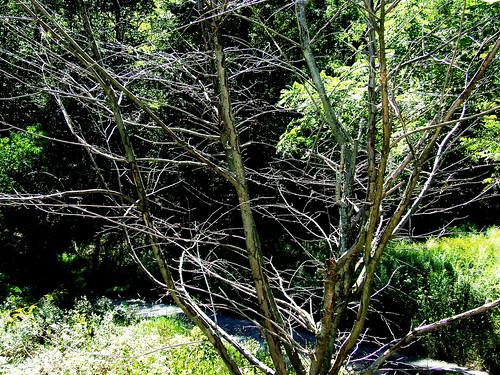 dead ornamental cherry tree
