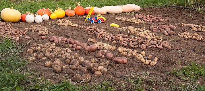 aardappelen (elk groepje een ander ras), en pompoenen, nee geen courgette maar jumbo pink banana
